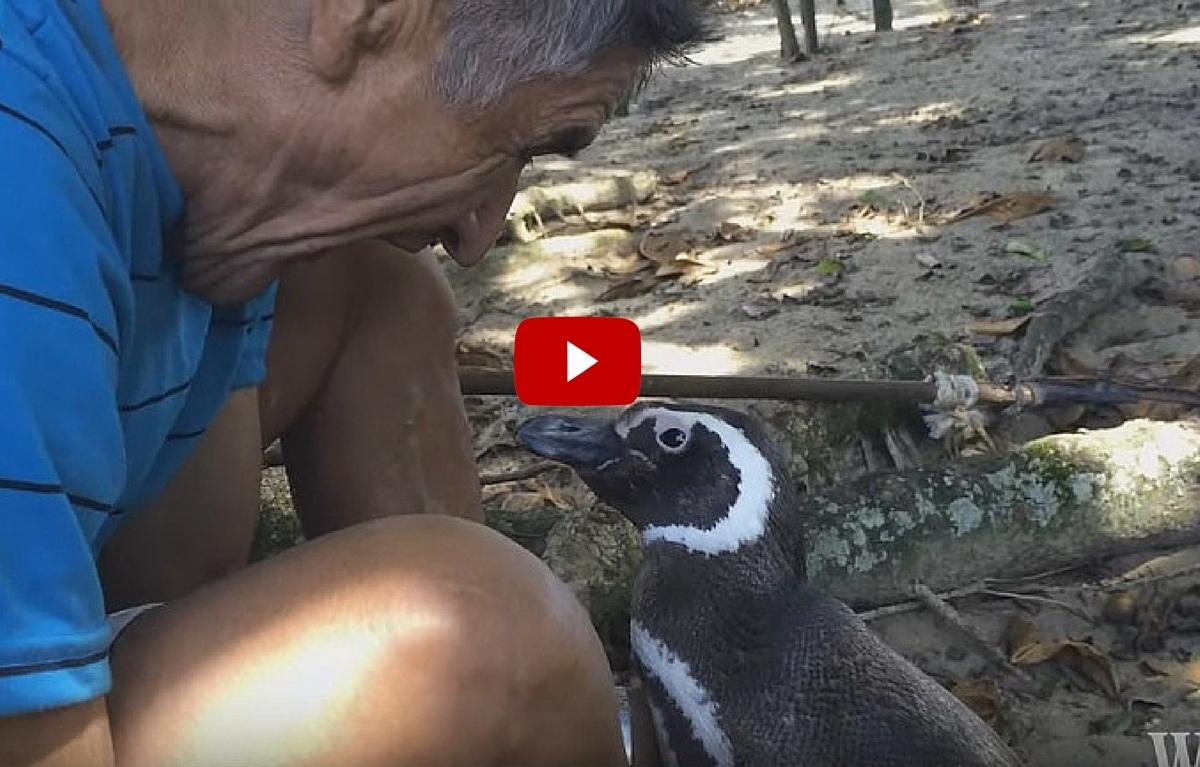 Un pinguin calatoreste in fiecare an mii de kilometri pentru a-l vizita pe barbatul care i-a salvat viata. Povestea lor a devenit virala.