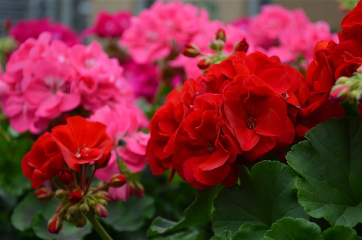 Cum sa ingrijesti corect muscatele. Sfaturi pentru cele mai frumoase flori