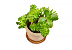 57854819 - green succulent plant sempervivum and crassula, isolated on white background