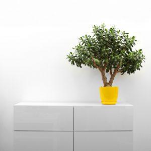 33822517 - crassula plant on white commode in minimalism interior
