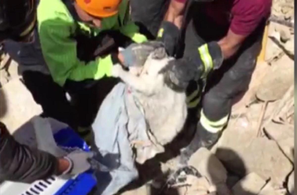 Pisica salvata dupa 15 zile de la cutremurul din Italia