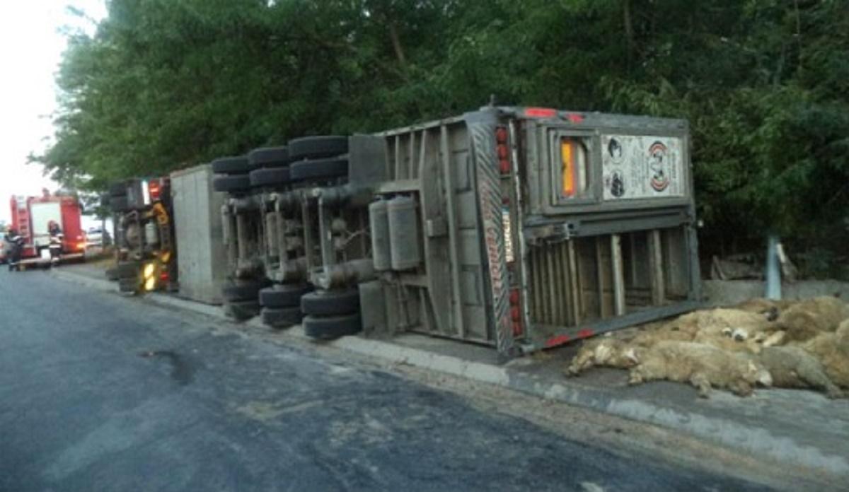 Un autotren încărcat cu oi s-a răsturnat pe Autostada Soarelui