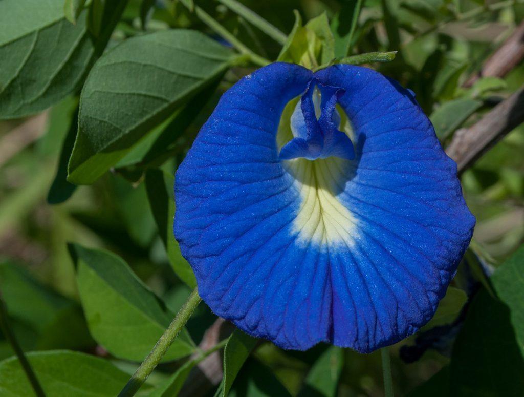 Fasolea Fluturilor, planta utilă pentru tratarea tulburărilor sexuale la femei