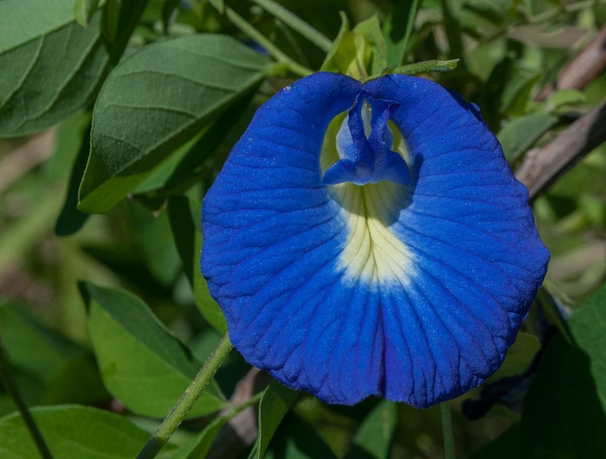 Fasolea Fluturilor (Clitoria Ternatea) este o plantă folosită în medicina orientală pentru tratarea tulburărilor de natură sexuală la femei.