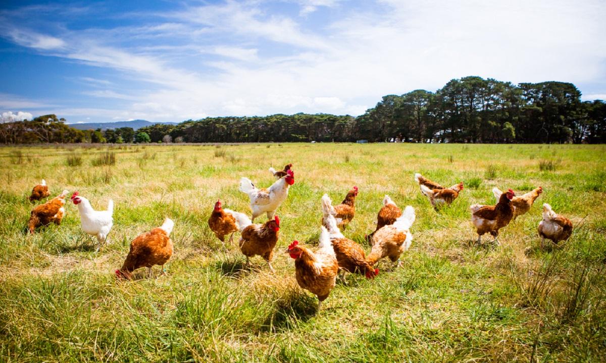 Peste 10.000 de găini şi mii de ouă puse sub SECHESTRU
