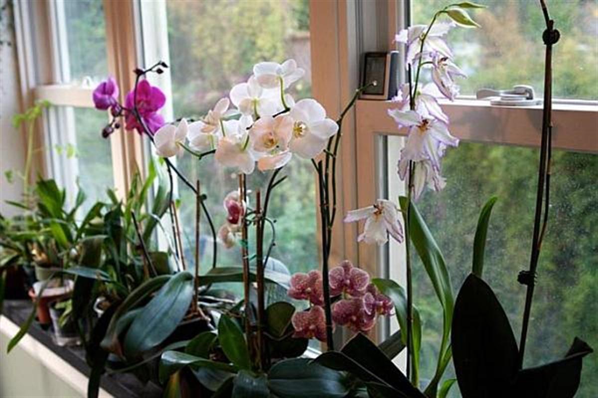 Orhideea este o plantă foarte populară, oferită de multe ori în dar, dar specialiștii avertizează că nu este bine să o ai prea mult în casă.