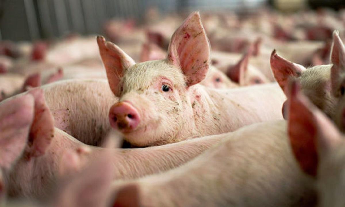 ALERTĂ Focar de pestă porcină în România