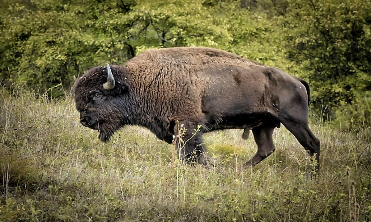 Parcul Naţional Yellowstone: O femeie a fost împunsă de un bizon