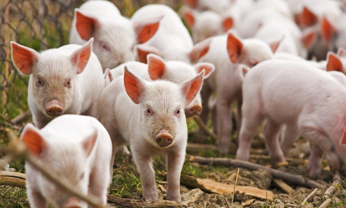 Giurgiu: Judeţul se află sub cod roşu privind posibilitatea apariţiei cazurilor de pestă porcină africană