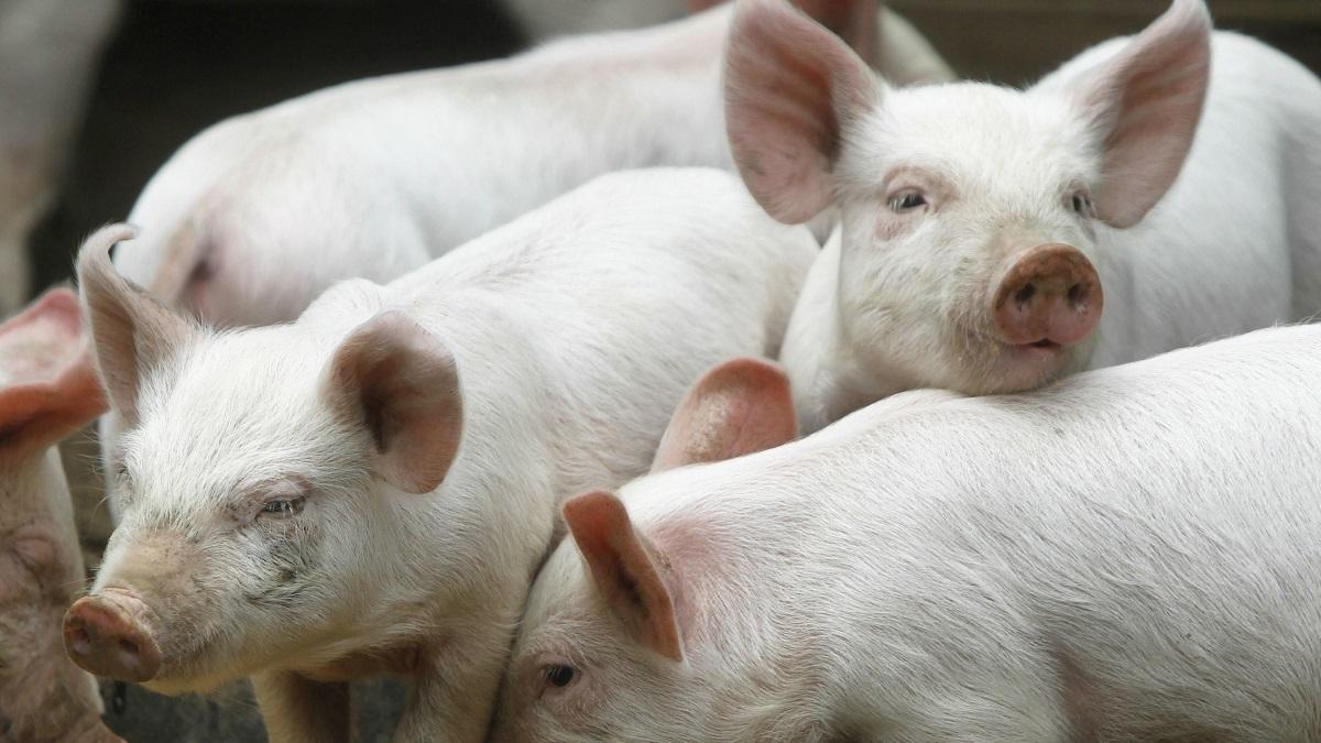 Număr imens de focare de pestă porcină în România. Anunțul ANSVSA