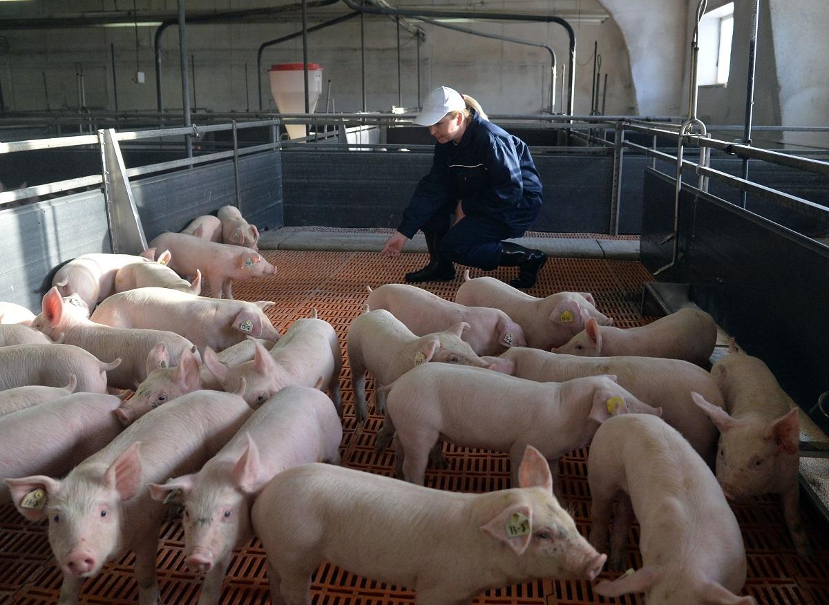 Pesta porcină africană: Ce ascund autoritățile în cazul maladiei care face ravagii în România