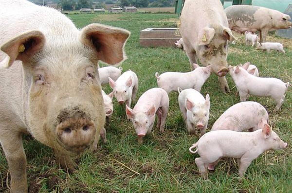 Pesta porcină africană, confirmată în apropiere de București