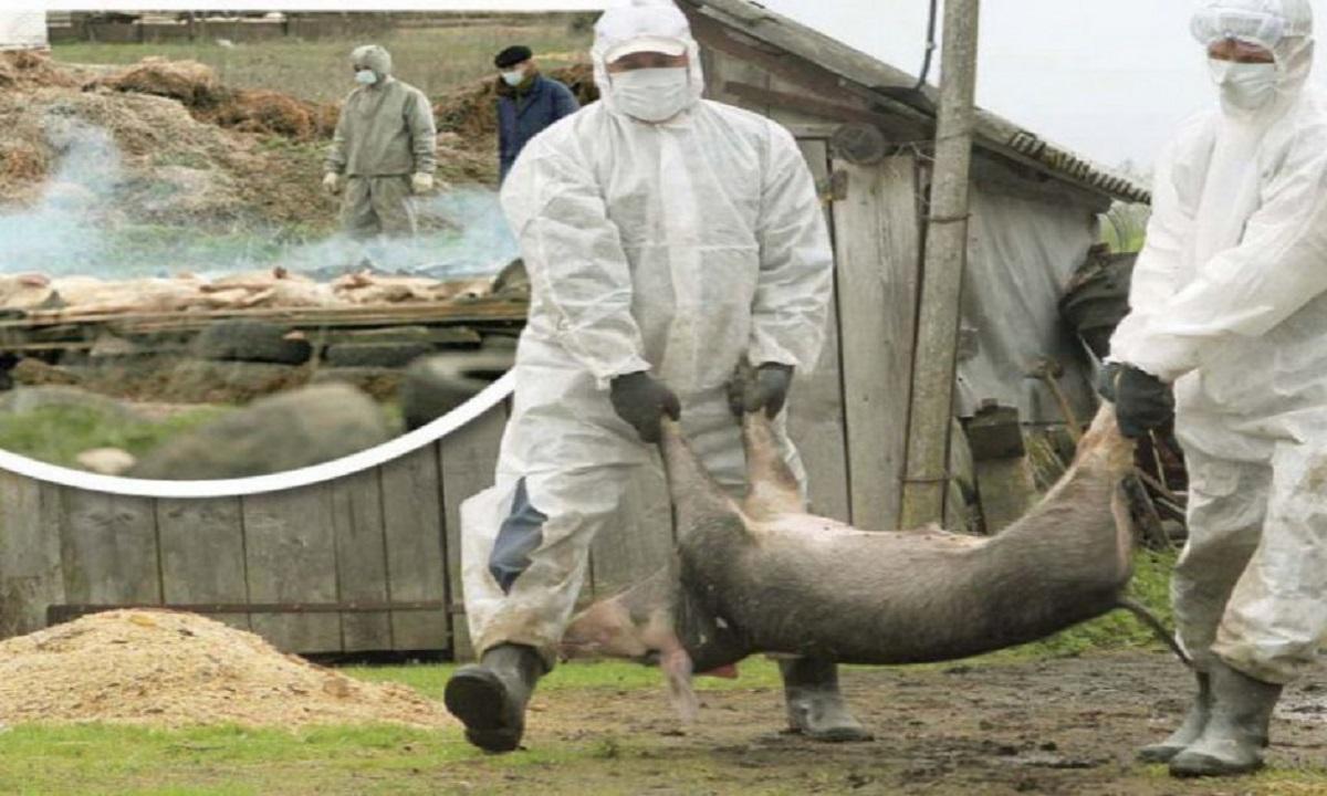 Braşov: Controale în tot judeţul pentru prevenirea pestei porcine