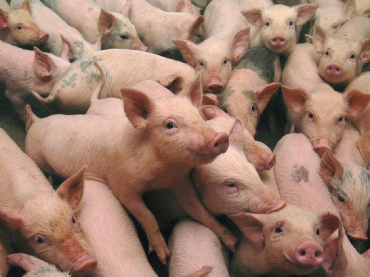 ANSVA: Peste 230.000 de porci, sacrificați din cauza pestei porcine