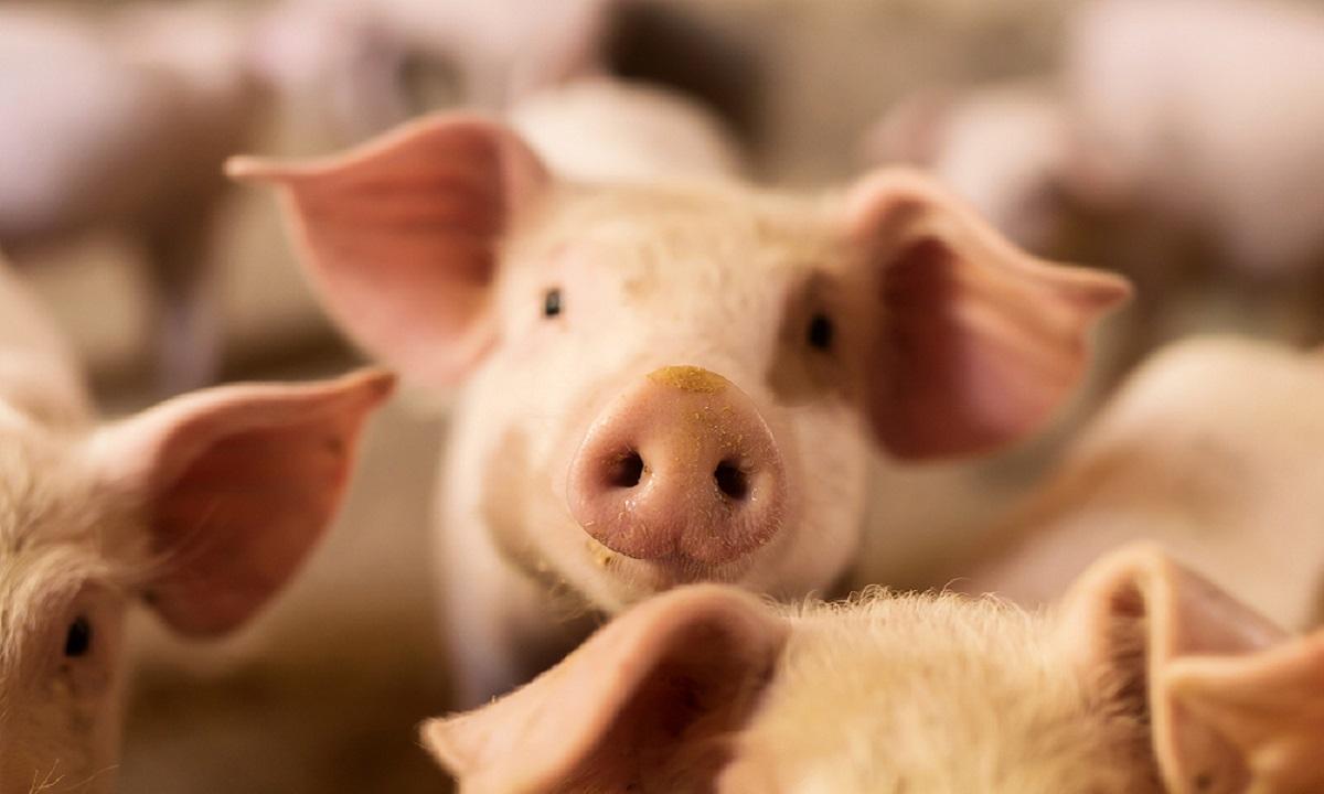 Pesta porcină în Buzău, confirmată oficial duminică. Anunțul prefectului: