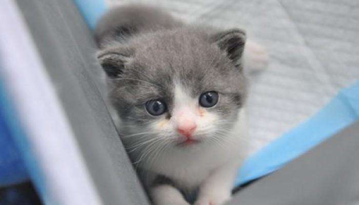 Prima pisica clonata de compania chinezeasca Sinogene