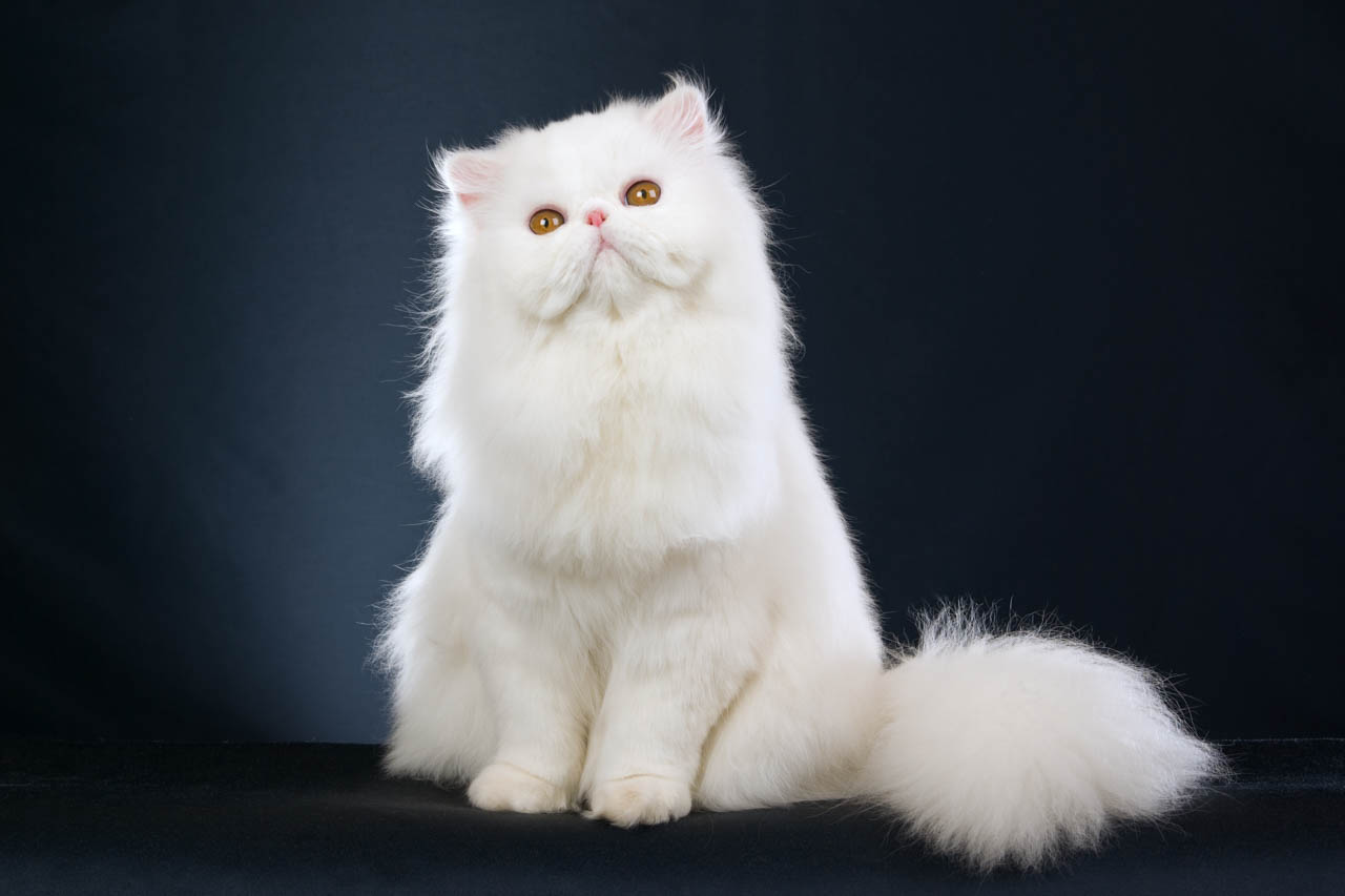 O pisică a luat coronavirus de la stăpâna ei