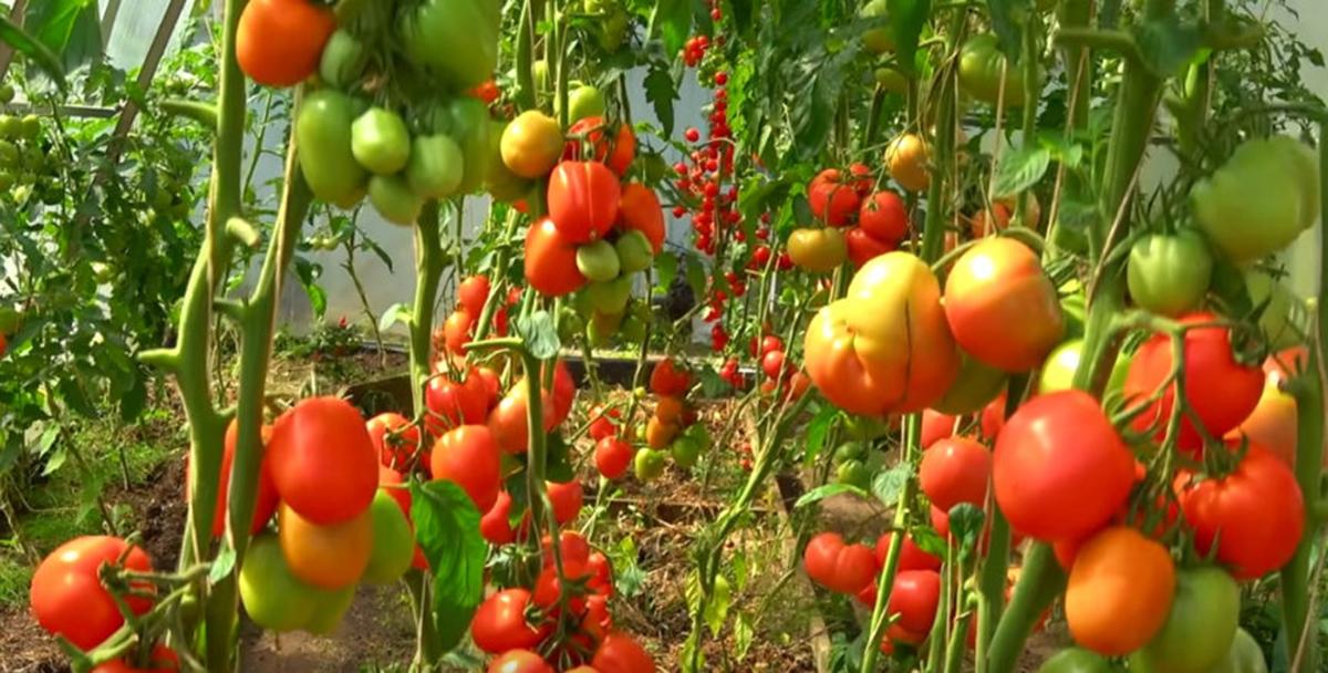 Super îngrășământul pentru roșii — doar cu ajutorul lui tufele vor rodi de 10 ori mai mult