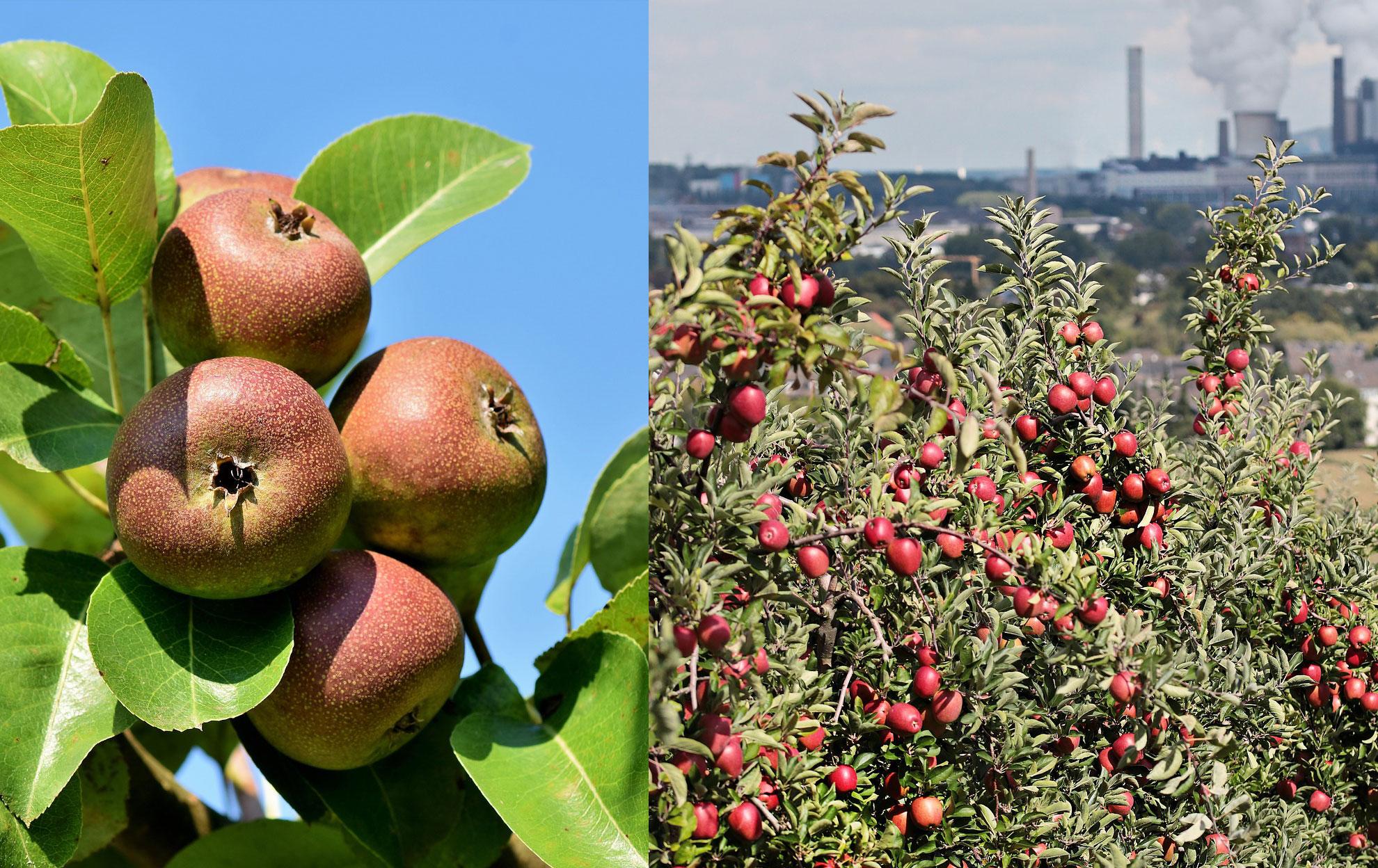 Care sunt cei mai buni pomi fructiferi pe care să-i plantezi într-o curte mare