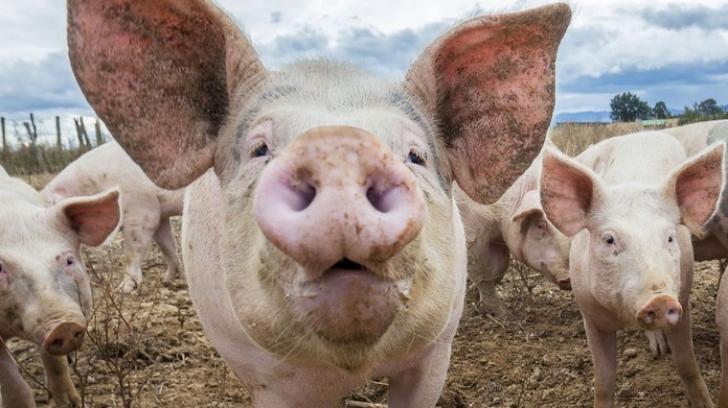 Care sunt tradițiile de Ignat În Moldova, Muntenia, Dobrogea sau Oltenia. Cum se sacrifică porcul în aceste regiuni