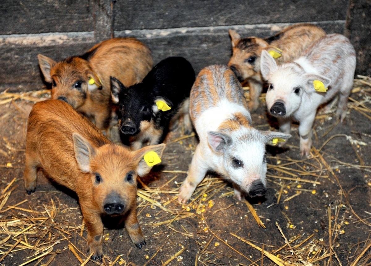 Bani de la statul român pentru crescătorii de porci. Sunt vizate două rase celebre